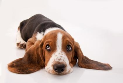 Basset hound - Petit basset hound angers ...