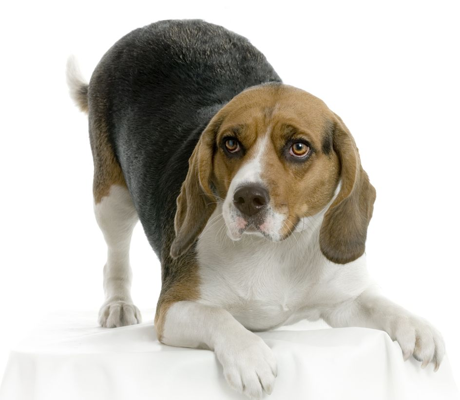 Beagle - Chien beagle adulte ...