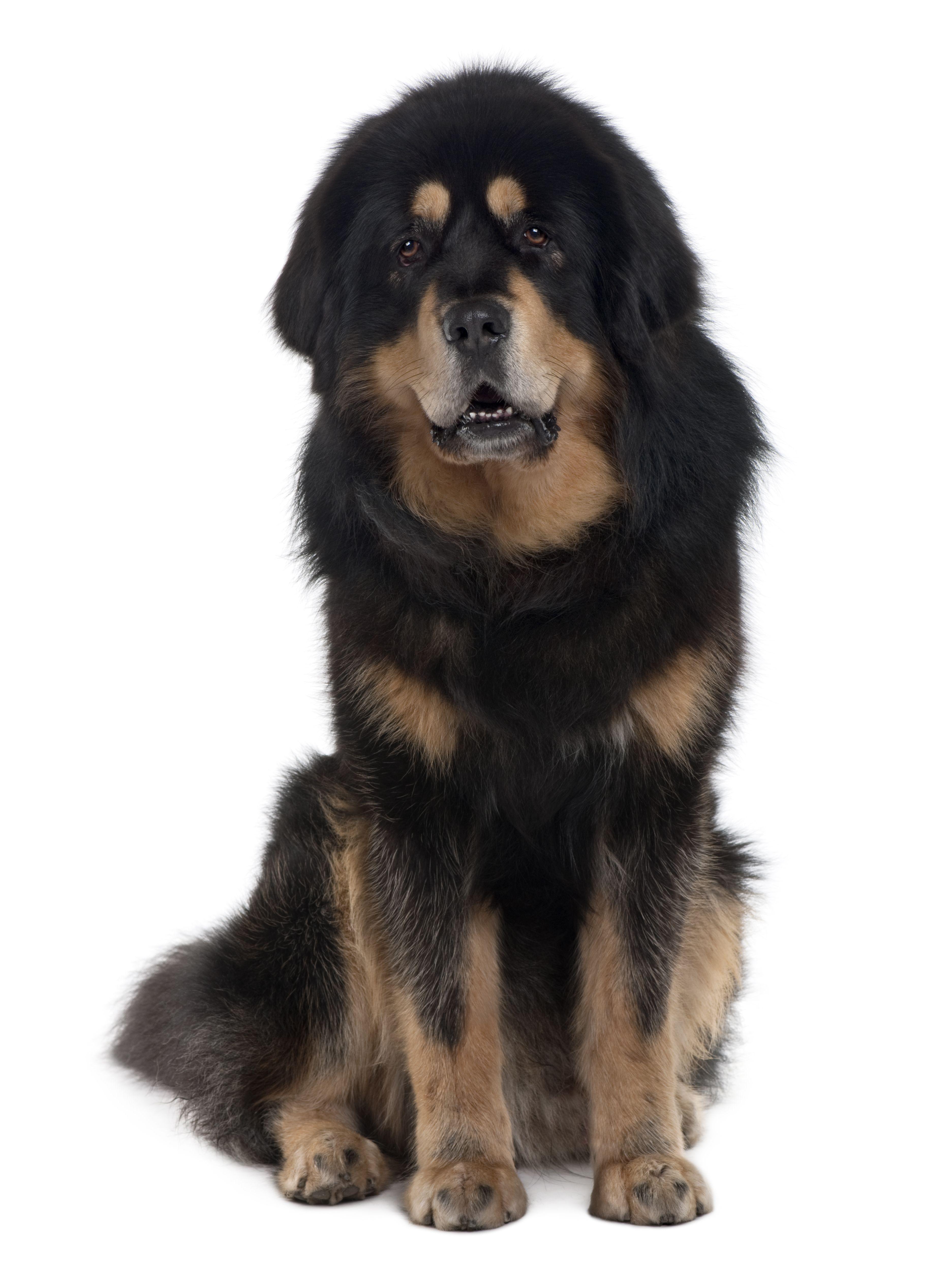 dogues américains images